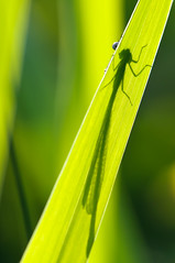 Hide and seek (Lucky Lucas) Tags: macro green eye nature silhouette insect leaf spring wings eyes groen legs dragonfly bokeh vivid lente libelle silhouet naturephotography d300 juffer blueribbonwinner sigma150mm