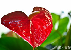 Common Anthurium ( Nana) Tags: life light flower green love nature colorful natural taiwan  taiwan i