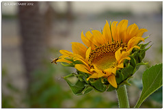(A.Alwosaibie) Tags: macro nikon iso400 spotlight 2012 ksa  d90 alhasa        18105mm    wonderfulworldofflowers aalwosaibie