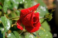 Rose im Regen  / rose at rain (2) (Ellenore56) Tags: light red inspiration color detail macro reflection rot floral rain weather rose diamonds botanical licht photo flora focus foto rainyday blossom magic perspective drop diamond bloom raindrops vista droplet imagination outlook moment sparkler makro blte magical farbe reflexion rainfall regen raindrop sunray wetter perspektive reflektion tropfen dud diamant regentag augenblick fokus rainday florescence floribunda botanik regentropfen raininmay mairegen trpfchen roseflower faszination rosenblte intherain edelrose sonya350 rosepental ellenore56 31052012 diamaten 1rose2012 firstrose2012 pentalofroses kleinersonnenstrahl littlesunray mairegenmachtgros