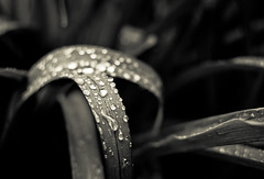 Dark Day Dark Drops (Orbmiser) Tags: plant rain oregon dark portland spring nikon monotone waterdrops blades d90 35mmf18g