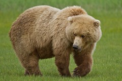 Halo Bay Bear (toryjk) Tags: bear alaska wildlife brownbear alaskanwildlife halobay