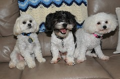 Three Couch Friends (picturetakingone) Tags: bear dog white black cute pose puppy puppies cross teddy shih tzu couch sit bichon sammy tsu shi bosley anni furnature bishon shihchon
