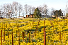 Vineyard Stakes (**El-Len**) Tags: california winter color lines yellow sunrise fence vineyard rows bloom mustard posts stakes winecountry fav10