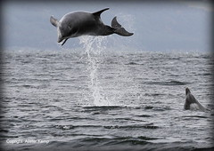 Bottlenose Dolphins - Chanonry Point (Ally.Kemp) Tags: wild point scotland jumping marine dolphin scottish dolphins mammals leaping breaching moray rosemarkie blackisle firth chanonry bottlenose fortrose