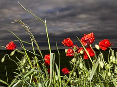 Ragged Poppies (alexbaxterca) Tags: red storm flower field boston clouds canon flash dramatic lincolnshire poppies 60