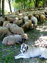 repos (b.four) Tags: dog chien cane sheep mouton castellane dda ewe alpesdehauteprovence brebis naturesfinest transhumance pecora coth supershot abigfave diamondclassphotographer flickrdiamond citrit cherryontopphotography rubyphotographer damniwish coth5 mygearandme mygearandmepremium ruby10 ruby5