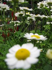 Mutterkraut (Priska B.) Tags: pflanzen blumen garten blüten mutterkraut