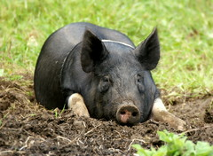 """Who are you calling a porker?"" (SteveJM2009) Tags: uk hairy june garden piggy nose pig eyes focus dof legs ears hampshire tired dorset resting hog snout 2012 porker nostrils pigsty stevemaskell pigpen kingstonlacy kitchengardens hampshirehog"