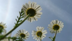 Mayweed (OiskaE) Tags: summer sky white flower skne sweden halo fields arvensis anthemis mayweed kerkulla