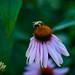 Echinacea Bees