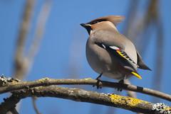 Waxwing (Bargais) Tags: bird latvia ring waxwing latvija kuldiga kuldīga