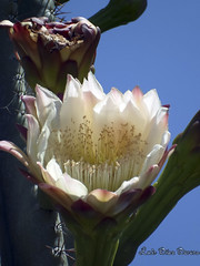 castus (Luis Diaz Devesa) Tags: espaa flower spain europa flor galicia galiza pontevedra cambados castrelo luisdiazdevesa