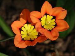 Fransenschwertel (Sparaxis tricolor) im Abendlicht (fotoculus) Tags: flowers flores fleur germany deutschland flora blumen oldenburg niedersachsen sparaxistricolor iridiaceae fransenschwertel