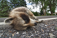 Dead Racoon.jpg (Bob's Corner) Tags: road gravel deadracoon tokina1116mmf28