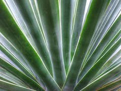 Natural Fan (Habub3) Tags: park travel holiday plant tree green art nature canon germany garden deutschland fan flora europa europe natural stuttgart urlaub natur palm powershot garten palme baum hdr yucca vacanze 2012 reise g12 faxoniana habub3 mygearandme