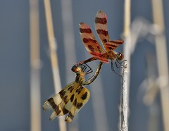 Halloween Pennant Rendezvous (jannagal) Tags: usa nature insect lakeerie heart dragonfly bokeh michigan wildlife mating tandem odonata sexualdimorphism halloweenpennant celithemiseponina