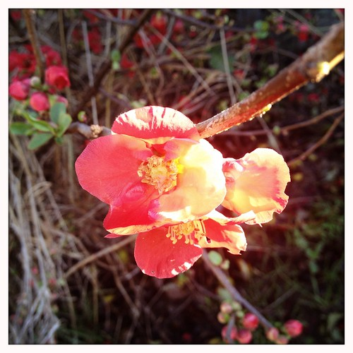 Japanese flowering quince #SoDamnBeautiful