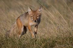 Swift Fox (Female) (Turk Images) Tags: female alberta prairie mammals swiftfox canidae vulpesvelox
