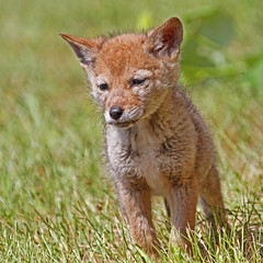 The Wisdom of Youth (Peggy Collins) Tags: coyote baby britishcolumbia wise pacificnorthwest wisdom sunshinecoast babyanimal coyotes babyanimals wildcoyote peggycollins babycoyote cutebabyanimals wisdomofyouth coyotebaby coyotebabies