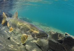 Shallow Water Predator (Fish as art) Tags: lake fish arctic trout char laketrout ørret truite røye salvelinus charr pisztráng silungur northernfishes underwaterfishphotography