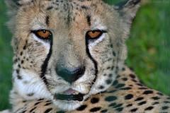 GHEPARDO - Cheetah (Alessio Rizzi) Tags: park parco nature animals mammal nikon natura safari le cheetah 300 tamron 70 bergamo animali bg 70300 tamron70300 acinonyx jubatus mammifero ghepardo cornelle faunistico valbrembo d3100 nikond3100