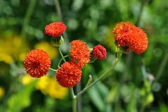 A splash of red (Stella Blu) Tags: red canada flower devon alberta devonianbotanicgarden stellablu nikkor105mmf28gvrmicro nikond5000 pregamewinner