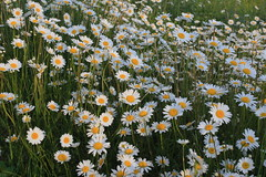 Cheery, these daisies could cheer anyone (John Andersen (JPAndersen images)) Tags: wild white canada flower green nature canon bc ngc fairmonthotsprings flowersadminfave jpandersenimages