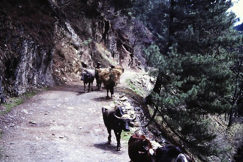 Farmers moving to the Hills near Aru, Kashmir