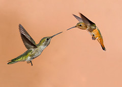 Anna's and Rufus Hummingbird. Composite (Eric Gofreed) Tags: arizona composite backyard sedona annashummingbird rufoushummingbird