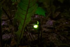 Glowworm (timo_w2s) Tags: summer finland helsinki glowworm vuosaari bioluminescence lampyrisnoctiluca