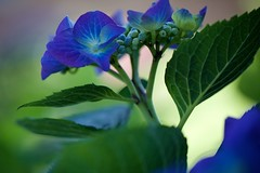 (juli_ei) Tags: flower blume blte blossom canon eos6d 6d ef100mmf28lmacroisusm nahaufnahme