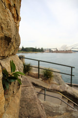 Life finds a way (Paul Threlfall) Tags: sydneyharbour sydneyharbourbridge nsw tree plant rocks sydneyoperahouse moretonbayfig ficusmacrophylla