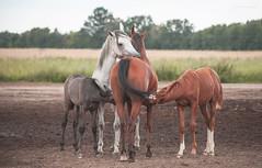 horse family (Jagoda 1410) Tags: arabianfoal arabianhorse arabianmare equine equinephotography horses animal togetherness bond motherhood outdoor summer takenwithlove petroniusarabians