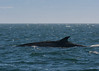 ew20160724 DSC_2080 -1 (Selena Rhodes Scofield Photography) Tags: selenarhodesscofieldphotography finwhale wildlife whales baleenwhales pacificocean pugetsound photography salishsea eaglewingtours wild4whales 4everwild
