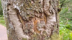 2016-08-02 13.51.01 (Lins Art) Tags: tree scotland balmaha inchcailloch lochlomond
