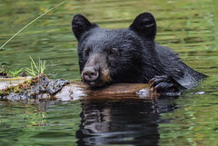 I see you over there, so I will pose (wesleybarr1962) Tags: blackbear bear blackbearswimming