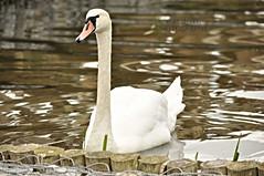 Swan (mac d-ski photography) Tags: swan bird animal nature water dof beautiful white waterbird