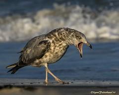 AngryGull1b (lfalterbauer) Tags: herringgull canon7dmarkii wildlifephotographer naturephotographer ocean stoneharbor bokeh beach seashore seagull skimmerpod naturescapes