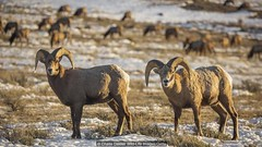 The most photographic spot in the US?6 (mohanrajdurairaj) Tags: bighorn animals wild wildlife parks grosventre rams male horns curly curl mountains west western cold temperature fur jackson hoofed yellowstone grandtetonnationalpark wyoming unitedstates usa