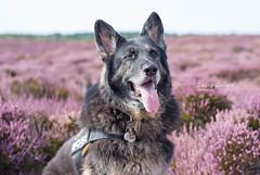 Lucky Heather <3 (laurenculbertphotography) Tags: germanshepherdalsatiangsddogphotography petphotography dogphotographer