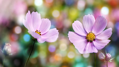 flowers (augustynbatko) Tags: flowers flower summer garden bokeh nature color