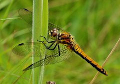black darter (f) (Suzie Noble) Tags: blackdarter dragonfly horseshoebog bog water strathglass struy insect invertebrate