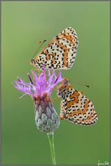 anniversary (Luciano Silei - sky7) Tags: melitaea melitaeadidyma lucianosilei canon7d sigma150macro butterfly naturalmente
