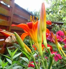 Ruskea pienen pieni perhonen (totinkoti) Tags: perhonen kukat