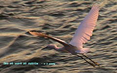 WBY6455-15 7D28 Ibis at work at sunrise (wbyoungphotos) Tags: ibis snowy white orning sun fishing wbyoungphotos