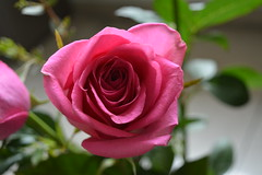 Rose (Mikaboy77) Tags: h thank you very much michael