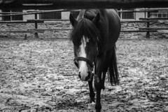 Horses (LooreEST) Tags: horse pet blackandwhite gray furry fur nature farm white stable mud brown mane