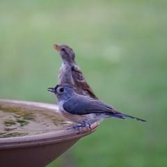 Drinking buddies (rkramer62) Tags: rkramer62 tuftedtitmouse backyardbirds grandvillemichigan august sonya6000