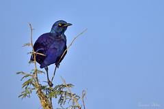 Starling sp (Sumarie Slabber) Tags: bird birding sumarieslabber nature krugernationalpark blue